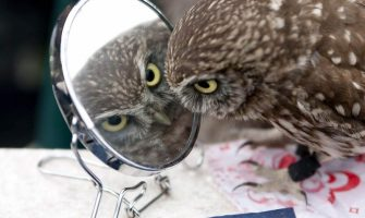owl-in-mirror