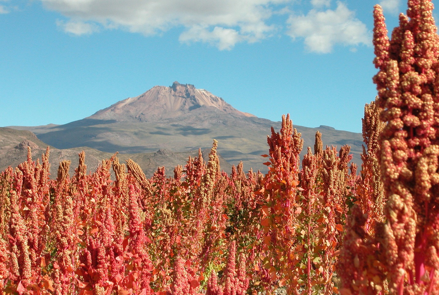 Quinoa Real grown near Uyuni on the Bolivian Altiplano (3653 m). Mt. Tunupa in the background. Photographer ?